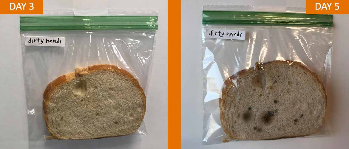 From left to right, a piece of bread in a bag labeled dirty hands from day three and a piece of bread with some mold growing on it labeled dirty hands form day five.