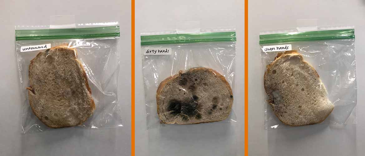 A photo of the three pieces of bread in plastic bags from day seven of the experiment