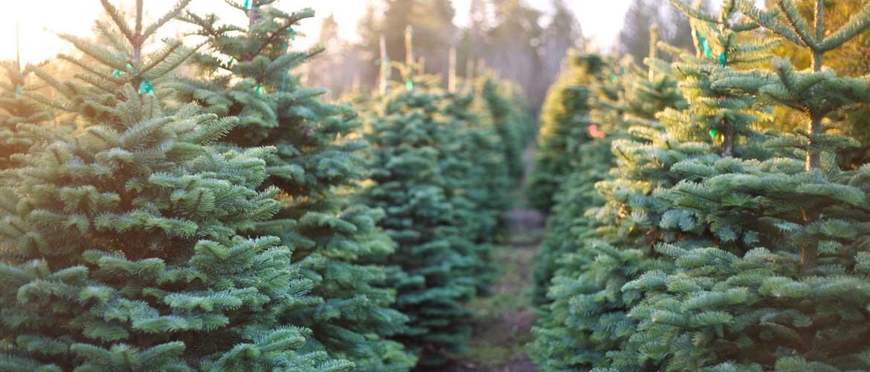 rows of trees at christmas tree farm
